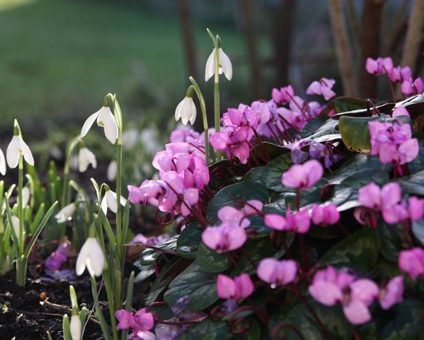 Snowdrops and cyclamen flowers
