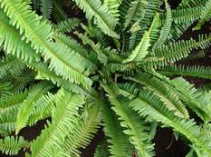 A close up of a green Nephrolepis cordifolia fern plant