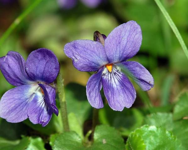 A picture of a Sweet Violet