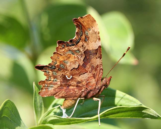 A close up photograph of a comma butterfly, Polygonia c-album perched on a leaf
