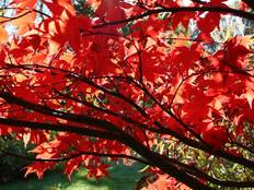A red maple tree