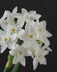 A photo of Paper-White Daffodil