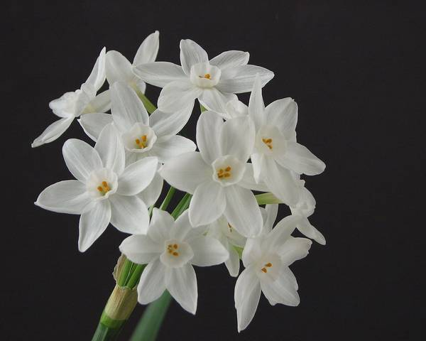 A picture of a Paper-White Daffodil