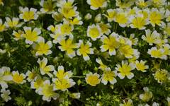 A photo of Poached Egg Plant