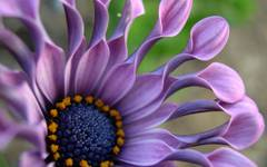 A photo of African Daisy