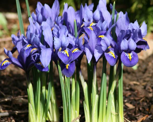 A close up of some purple Iris reticulata flowers