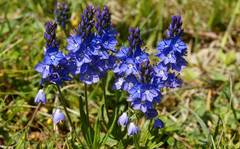 A photo of Prostrate Speedwell