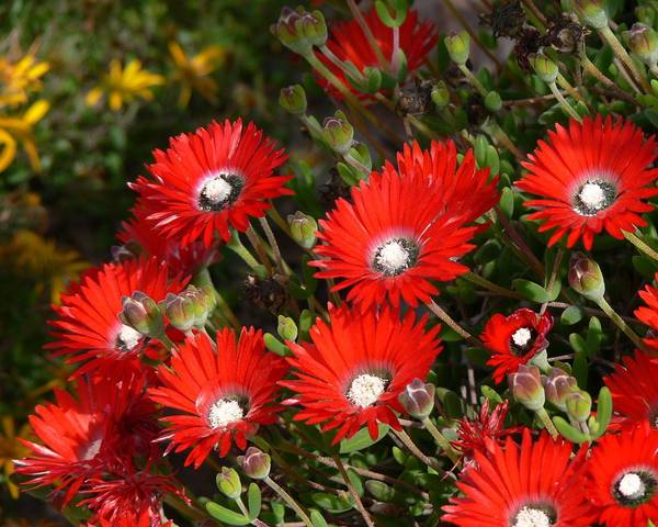 A picture of a Drosanthemum