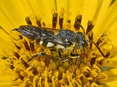 A close up image of a cuckoo bee from genus Coelioxys in a yellow flower