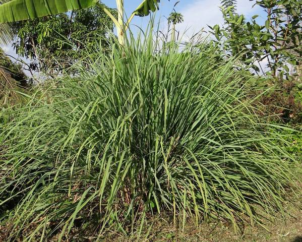 A picture of a Cymbopogon