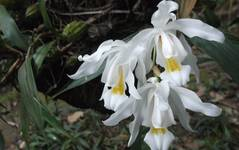 A photo of Pleione