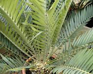 A photo of Thunberg's Cycad