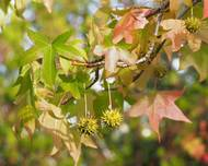 A photo of Sweet Gum