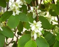 A photo of Alder-Leaved Serviceberry 'Obelisk'