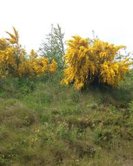 A photo of Common Broom