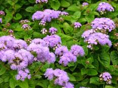 A close up of a flower garden containing Ageratum houstonianum in flower with Hulda Klager Lilac Gardens in the background