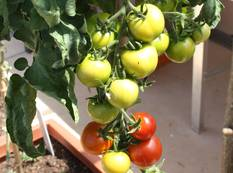 Some unripe green and ripe red tomatoes on a Solanum lycopersicum 'Moneymaker' plant in a glasshouse