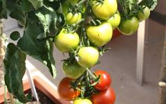 A photo of Tomato 'Moneymaker'