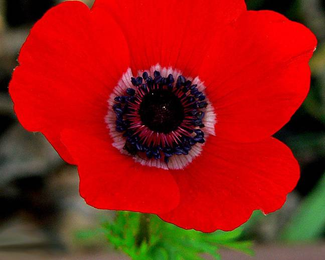 A close up of a red Anemone coronaria flower