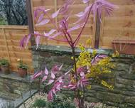 A red pink leaved Toona sinensis 'Flamingo' plant in a garden