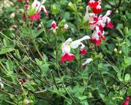 A photo of Salvia 'Hot Lips'