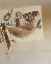 A photo of Hawthorn Webber Moth