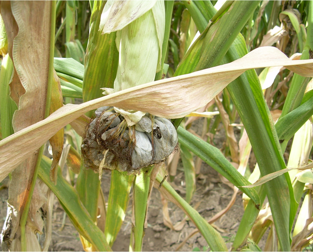 A corn plant infected with corn smut Ustilago maydis huitlacoche