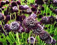 A photo of Scabious