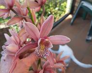 A photo of Boat Orchid