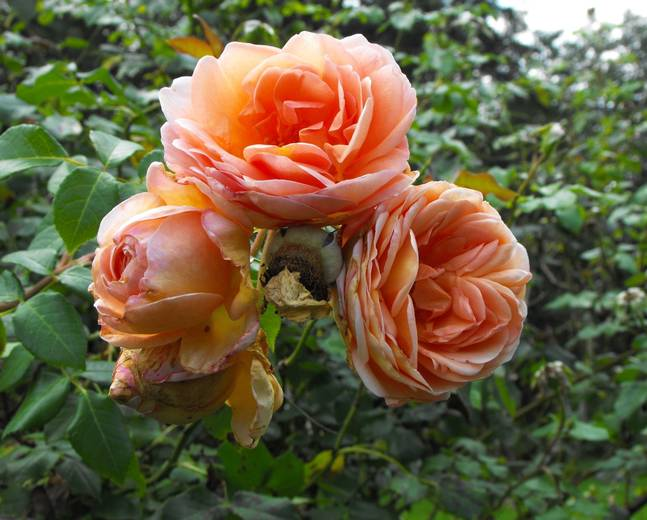 A close up of some pink orange peach Rosa 'Abraham Derby' rose flowers