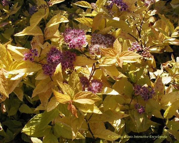 A picture of a Japanese Spirea 'Candlelight'