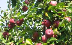 A photo of Apple Tree