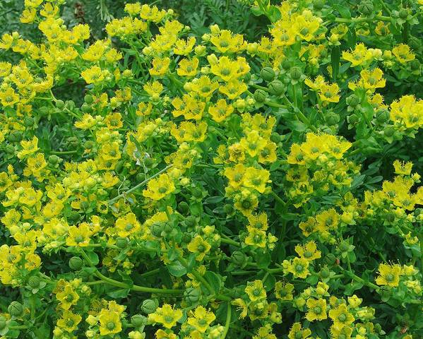 A picture of a Fringed Rue