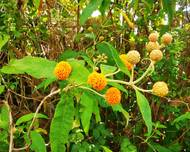 A photo of Orange Ball Tree