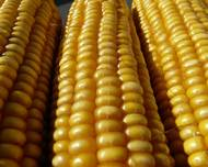 A photo of Sweetcorn