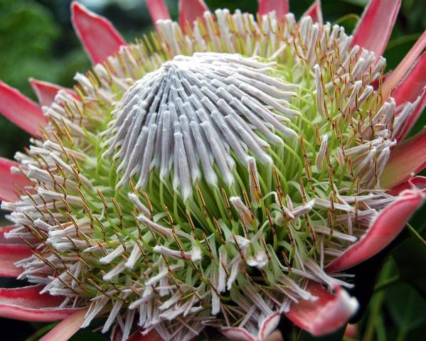 A picture of a King Protea