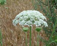 A photo of Giant Hogweed
