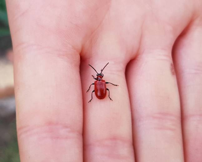 A close up image of a scarlet lily beetle Lilioceris lilii larva resting on a human hand