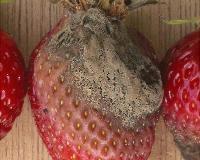 A mouldy strawberry on top of a wooden table