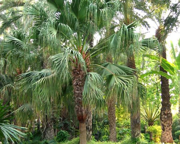 A picture of a Chinese Fan Palm