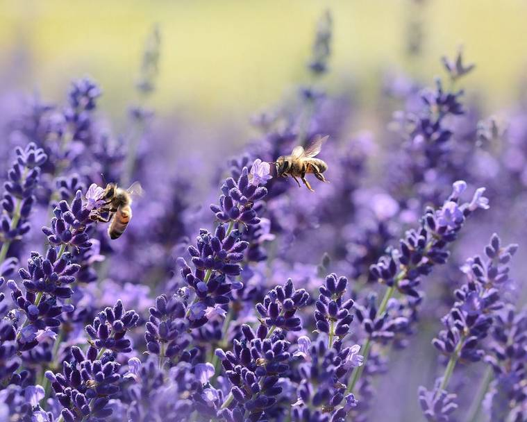 Bees and wasps on lavender flowers
