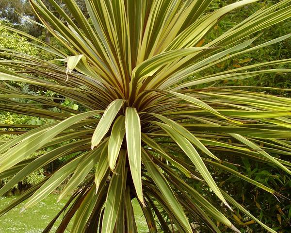 A picture of a Cabbage Palm