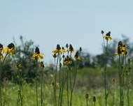 A photo of Great Coneflower