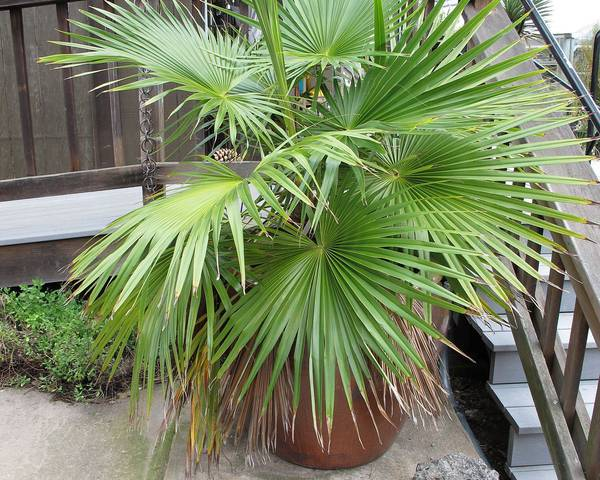 A picture of a Hesper Palm