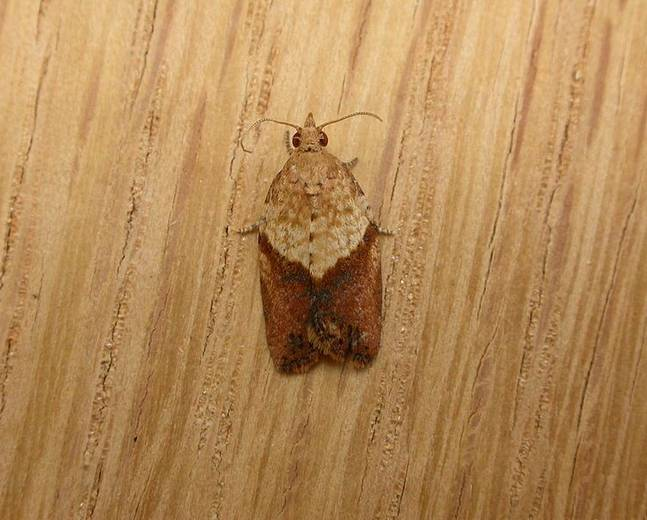 A close up photograph of a Epiphyas postvittana light brown apple moth against a wooden background