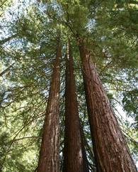 A photo of Sequoia