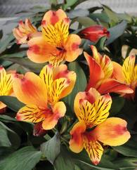 A photo of Peruvian Lily 'Summer Paradise'