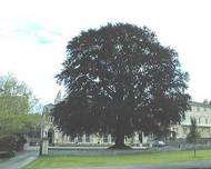 A photo of Beech