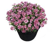 A photo of Pot Carnation
