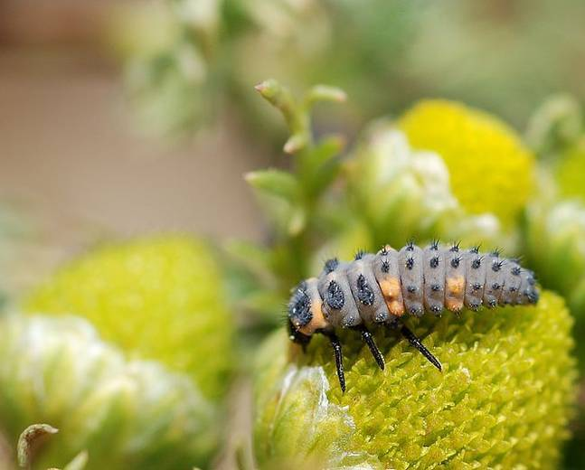 A close up of a 7-spot ladybird larva on a plant